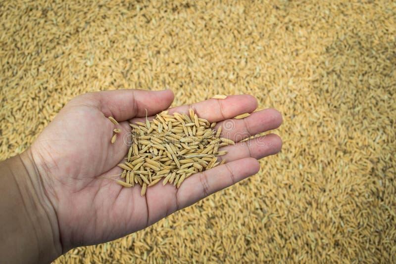 Неочищенные рисы в руке стоковая фотография rf