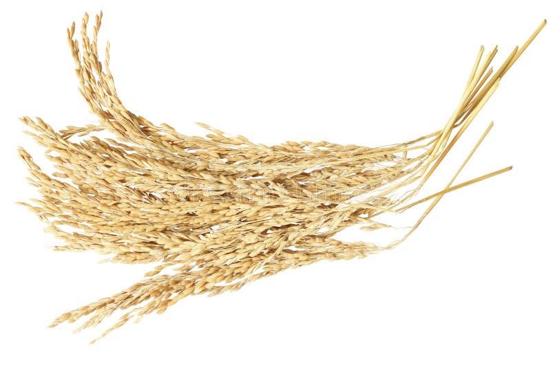 неочищенные рисы уха стоковое фото