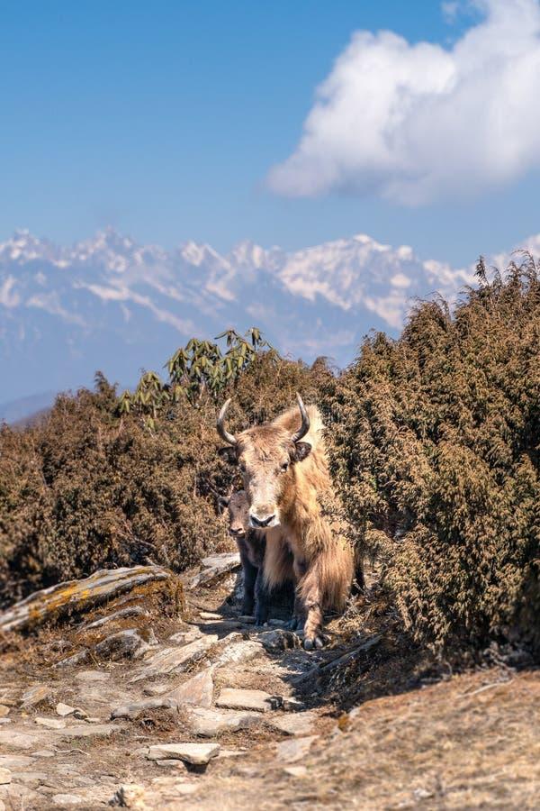 Непальские яки и младенец матери стоковые фотографии rf