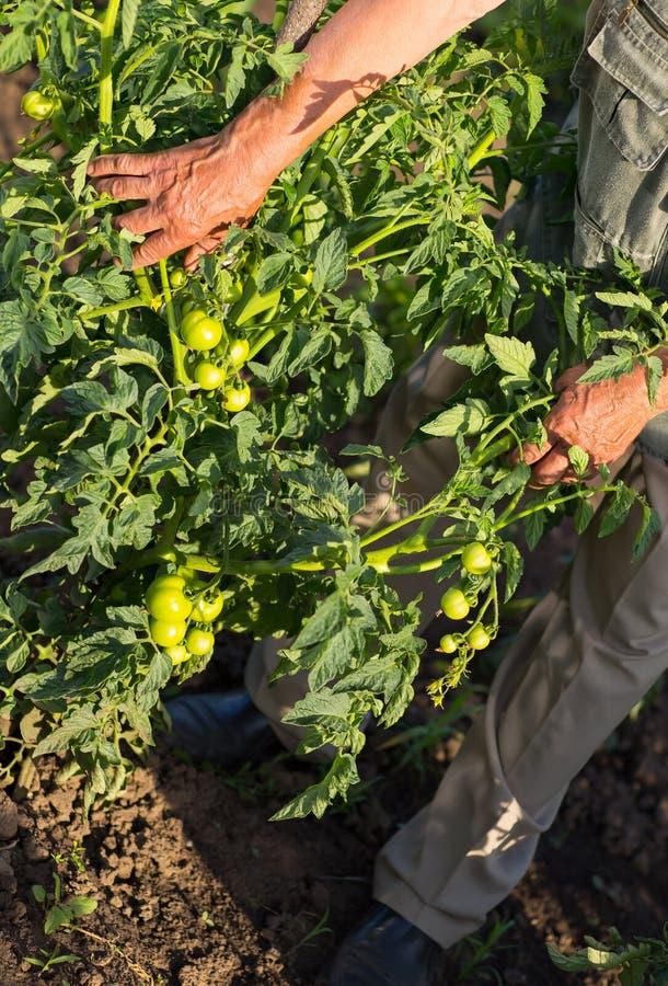 Непознаваемый старший человек в ее саде жать томаты стоковые фото