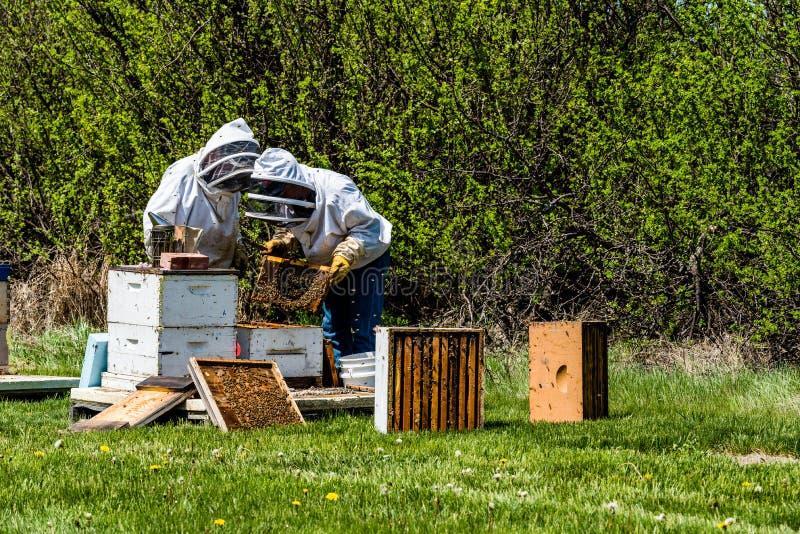 2 непознаваемых beekeepers проверяя подносы выводка от улья стоковая фотография rf