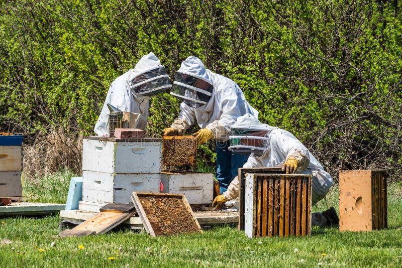 3 непознаваемых beekeepers проверяя подносы выводка от улья стоковая фотография rf