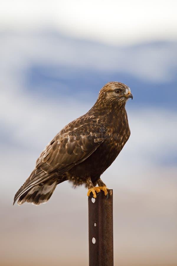 Неполовозрелое chrysaeto Аквила золотистого орла стоковая фотография