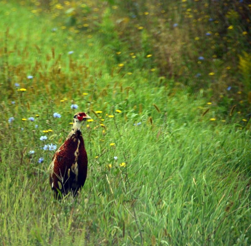 Неполовозрелый мужской Кольц-necked фазан стоковые фото