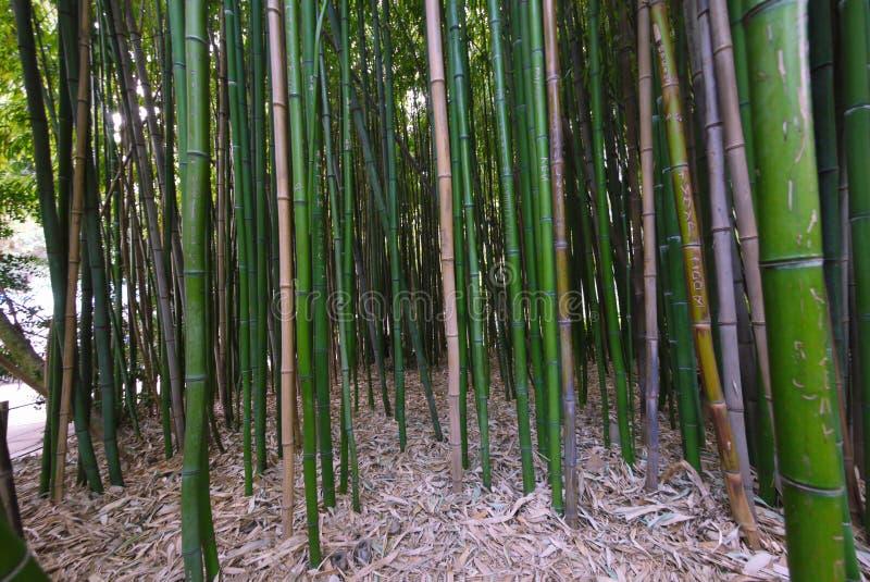 Непрерывные чащи молодого зеленого бамбука с ковром упаденных листьев на том основании стоковые изображения rf