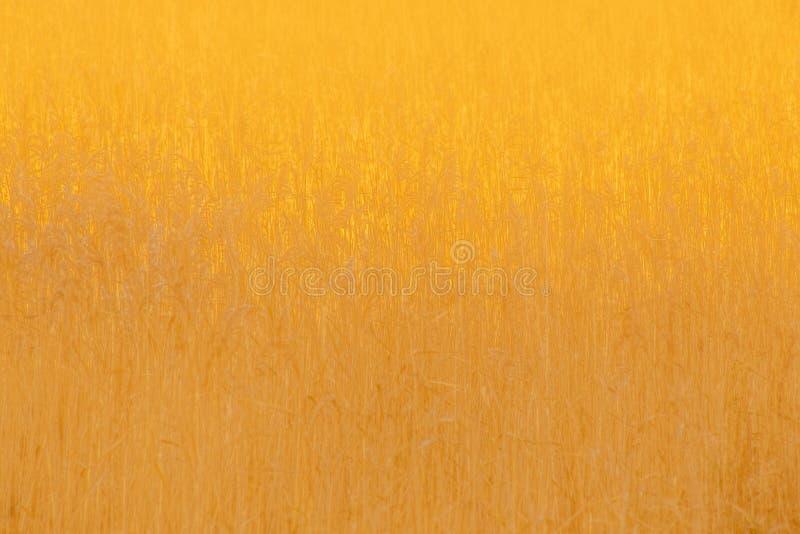 Непрозрачные золотые тростники на вечере осени стоковые изображения
