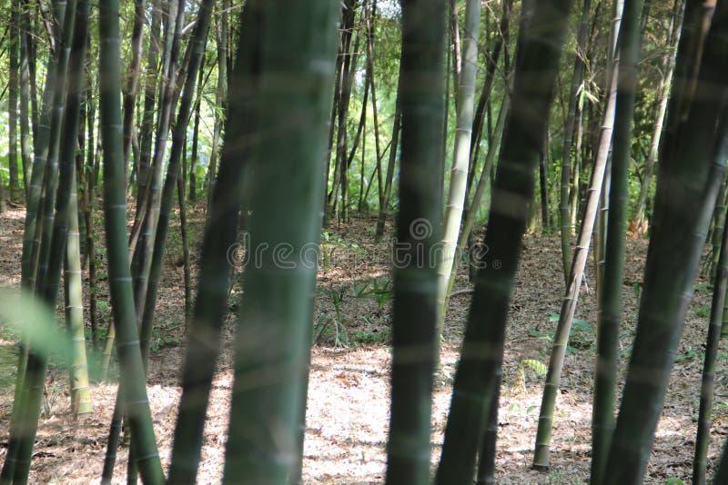 Непроходная бамбуковая роща стоковые изображения