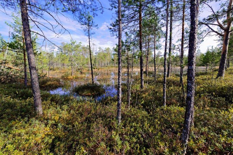 Непроходное болото в Сибире стоковое фото rf
