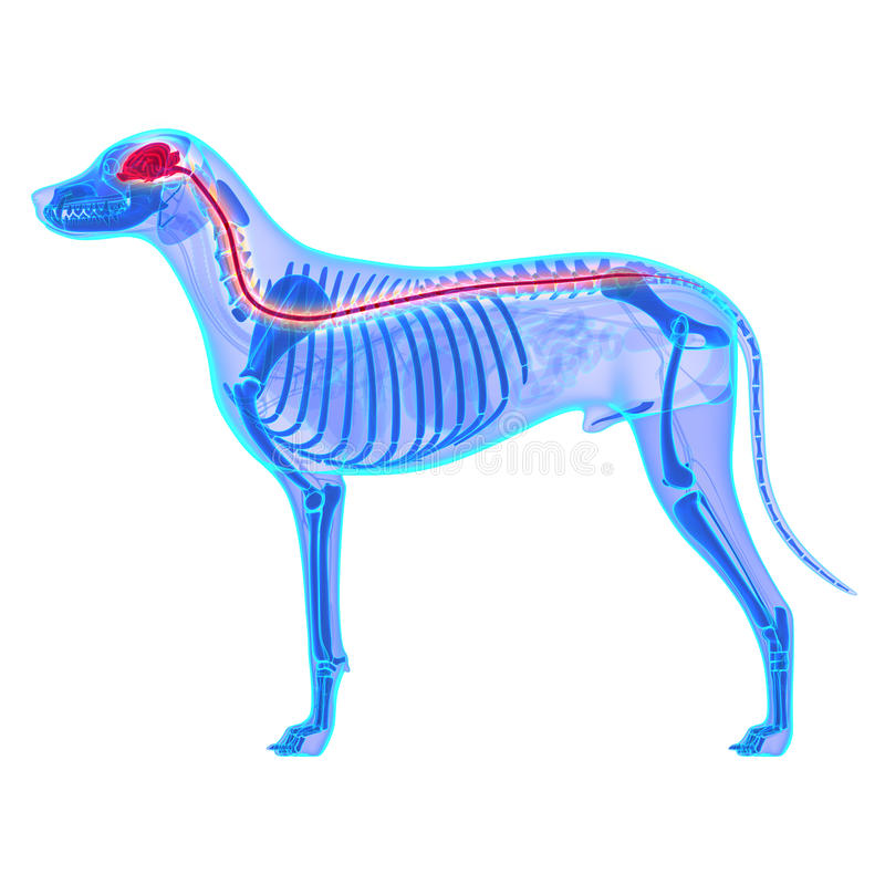 Нервная система собаки - анатомия Familiaris волчанки волка - изолированный o стоковая фотография rf