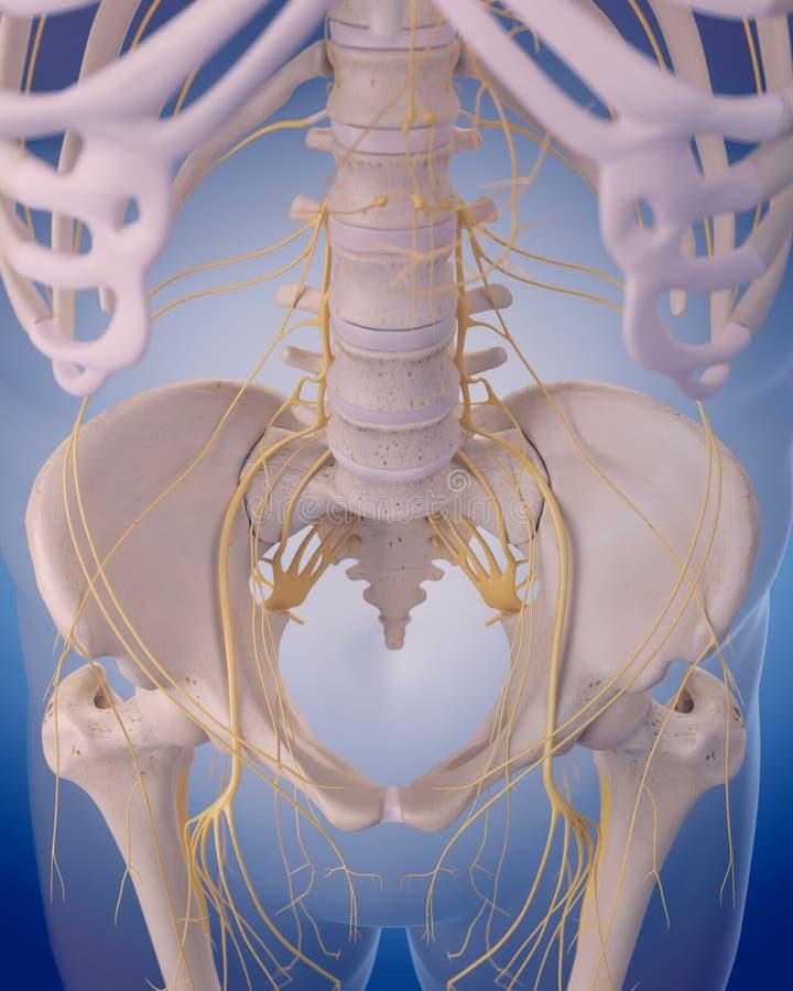 нервы бедра иллюстрация вектора