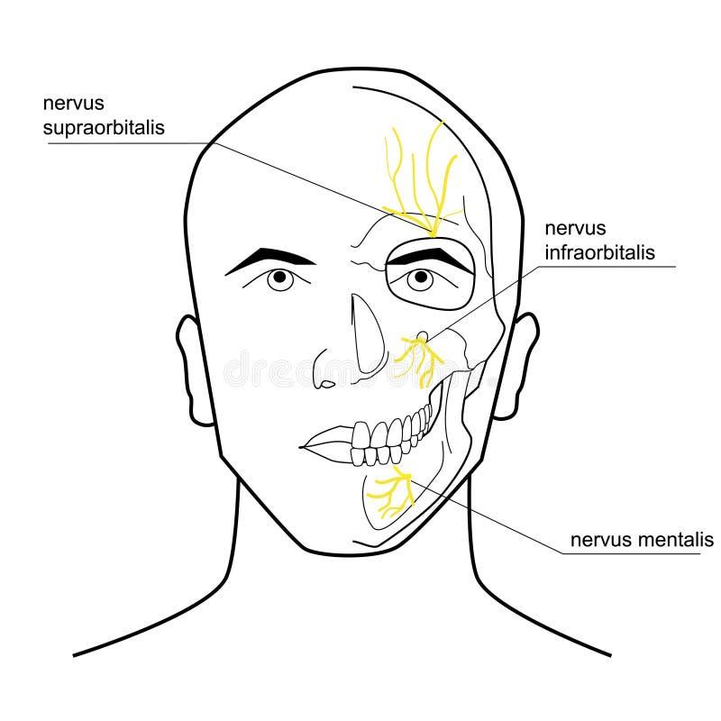 Нервы головы иллюстрация вектора