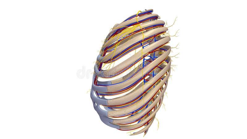 Нервюры с взглядом боковой части кровеносных сосудов и нервов бесплатная иллюстрация