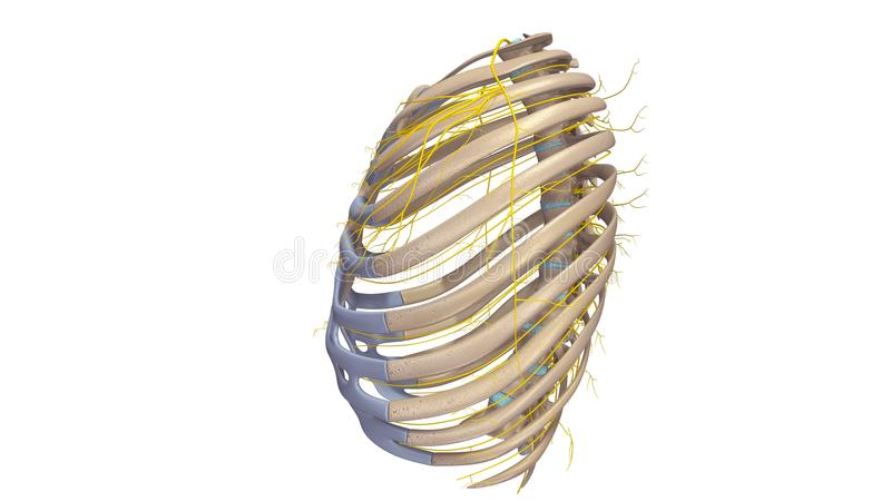 Нервюры с взглядом боковой части нервов бесплатная иллюстрация