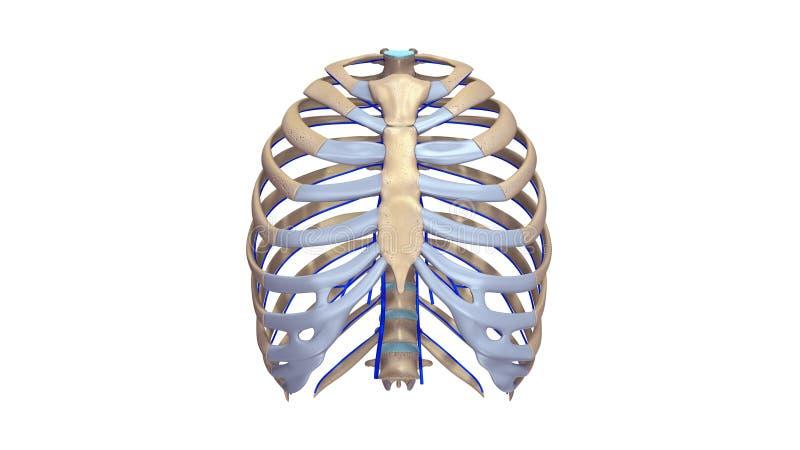 Нервюры с взглядом вен anterior бесплатная иллюстрация