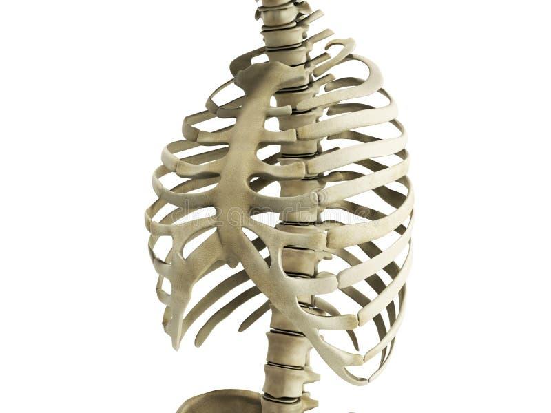 Нервюры Uman каркасные с взглядом 3 анатомии позвоночного столба Anterior иллюстрация вектора