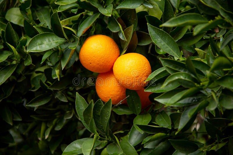 Несколько апельсинов на дереве стоковые изображения rf