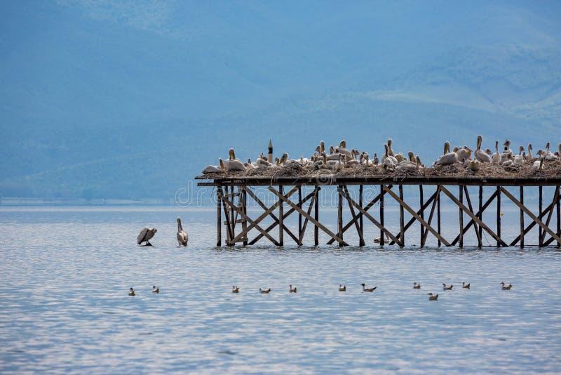 Несколько далматинских пеликанов на деревянной платформе стоковая фотография