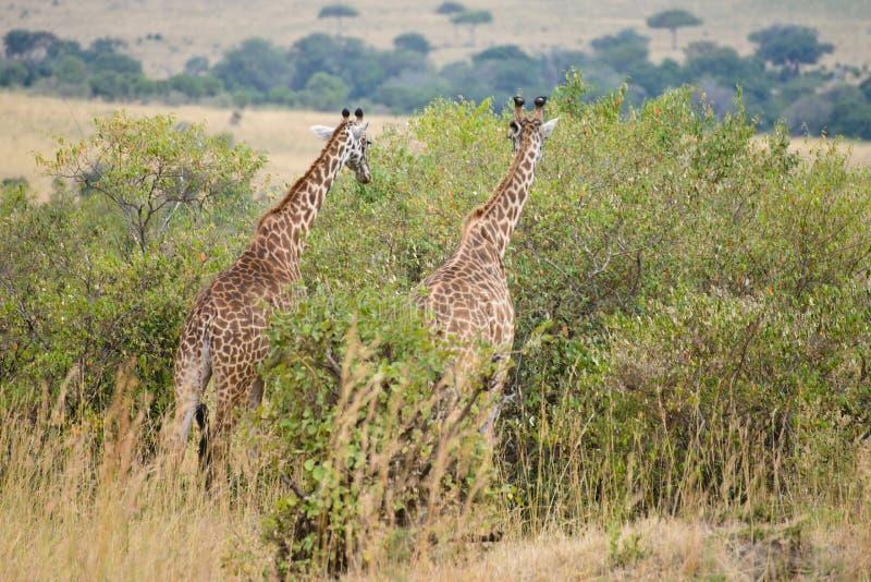 Несколько жирафы стоковое изображение rf