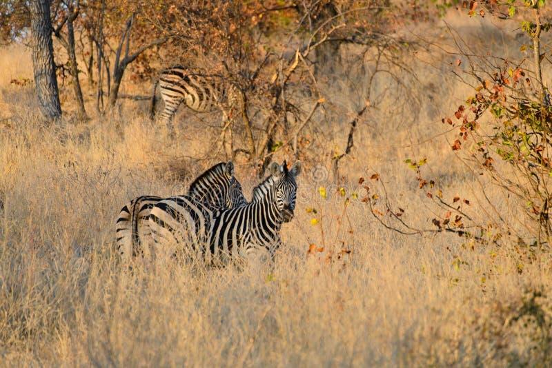 Несколько зебры стоковые фотографии rf