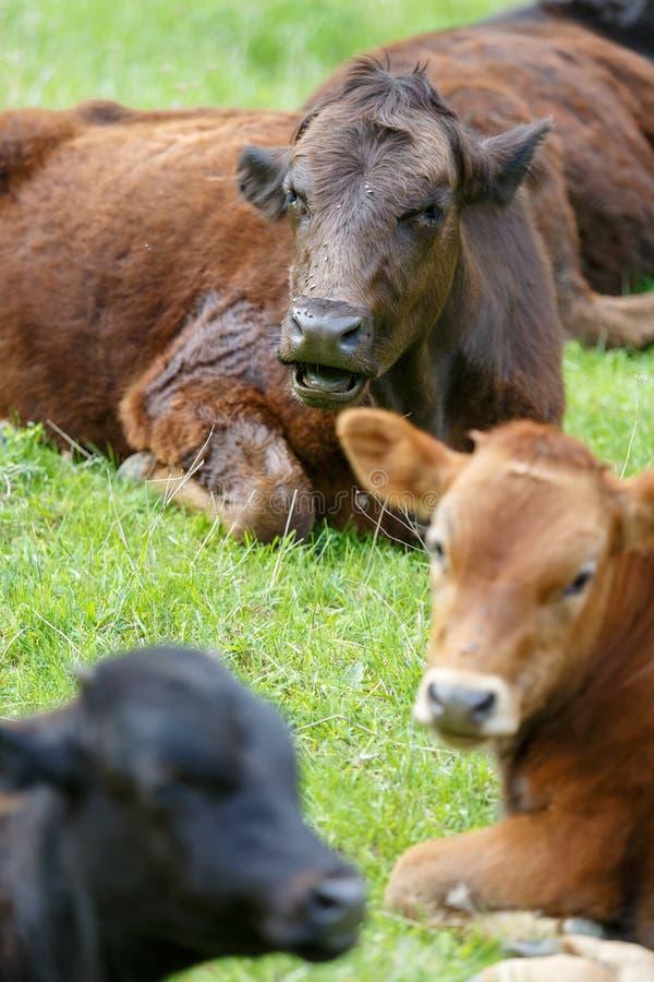 Несколько коров различных красок отдыхают на зеленом луге весной стоковые изображения