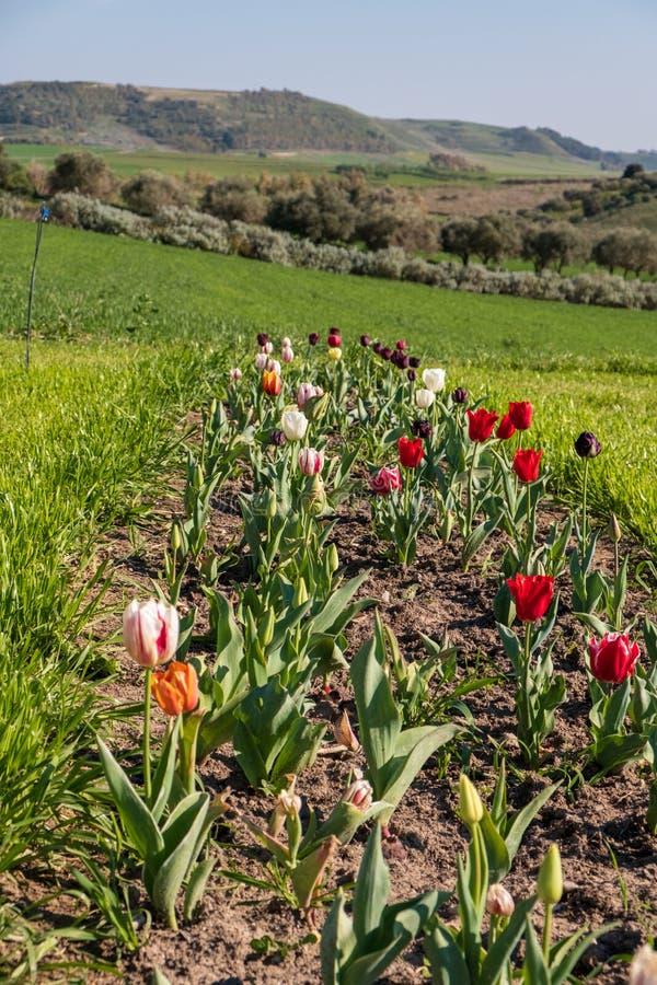 Несколько красочных и душистых тюльпанов стоковые изображения rf