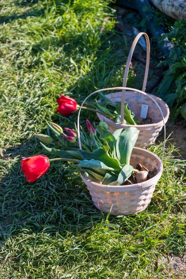 Несколько красочных и душистых тюльпанов стоковое изображение rf