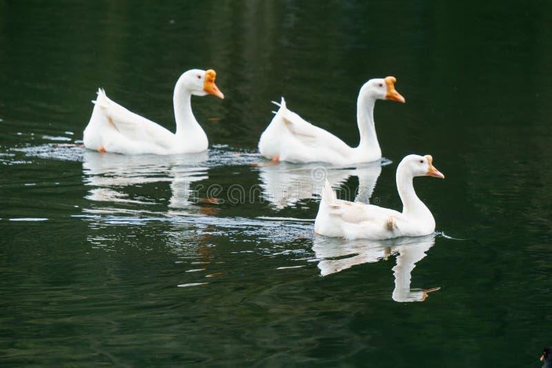 Несколько лебедей плавая в воде стоковые изображения rf