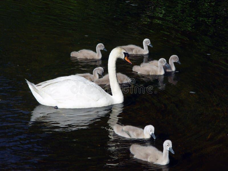 несколько лебедей плавая стоковое фото rf
