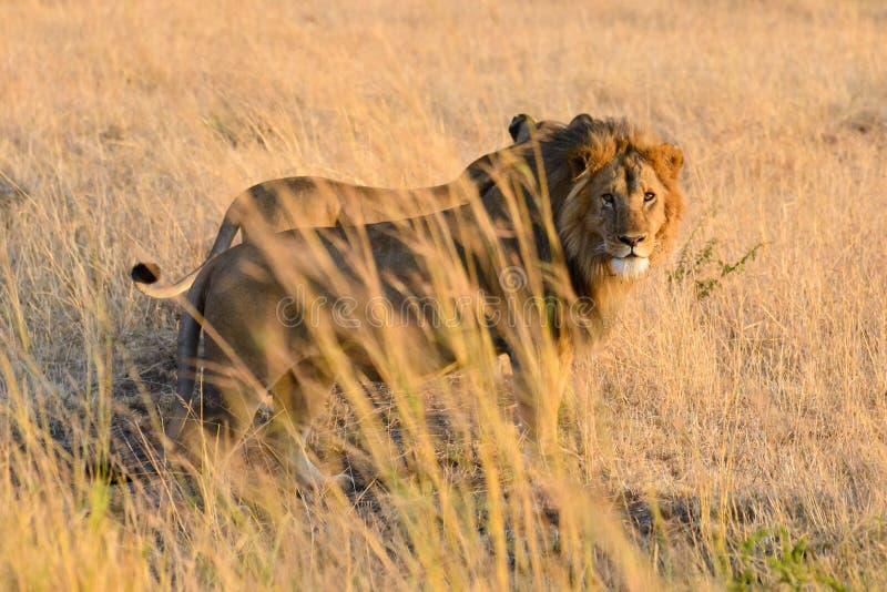 Несколько львы Африки стоковая фотография rf
