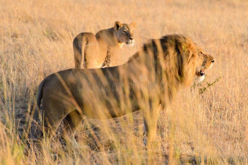 Несколько львы Африки стоковые изображения rf