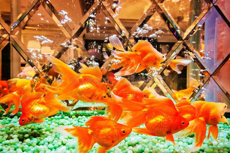 Несколько рыб золота стоковое фото