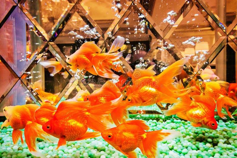 Несколько рыб золота стоковые фото