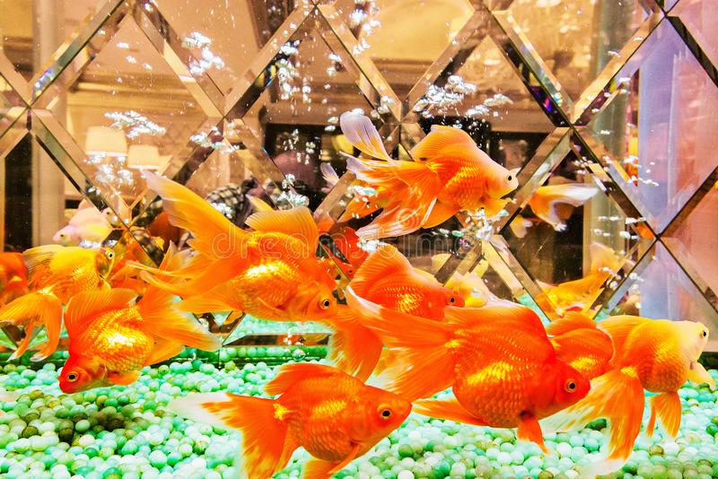 Несколько рыб золота стоковое изображение rf