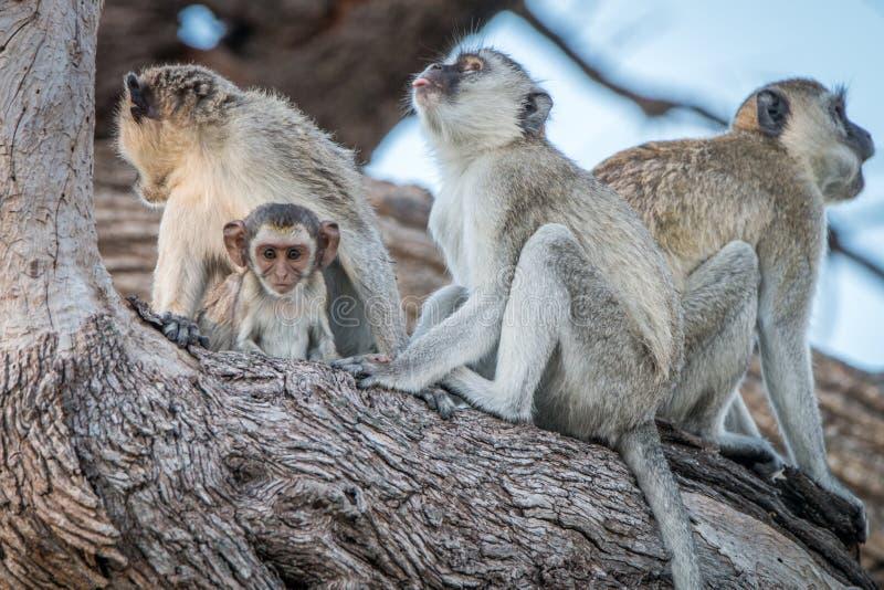 Несколько обезьян Vervet отдыхая на дереве стоковое изображение rf