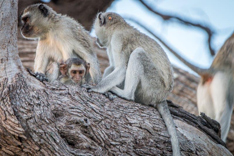 Несколько обезьян Vervet отдыхая на дереве стоковые изображения rf