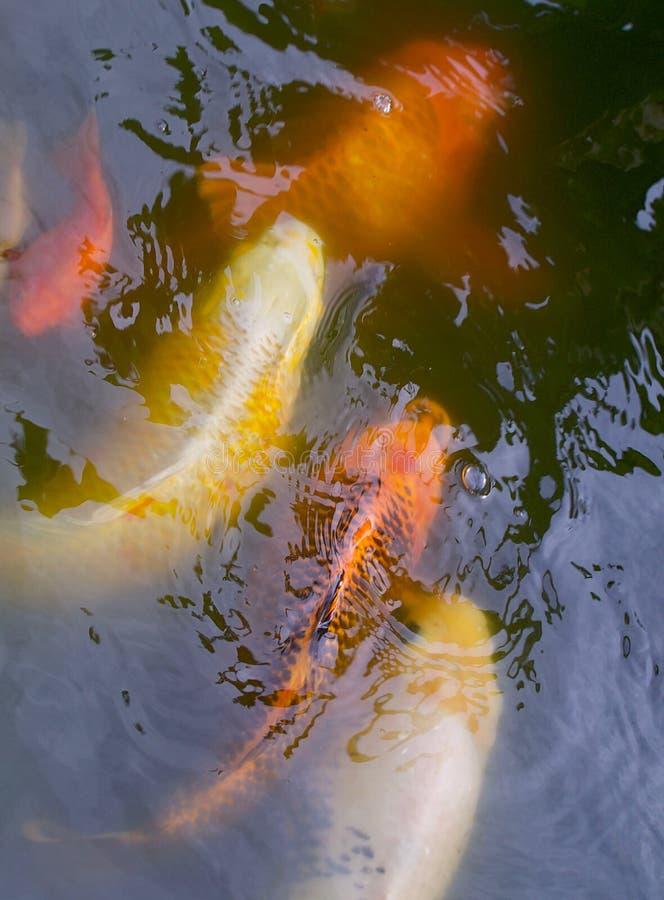 Несколько рыб Koi стоковая фотография rf
