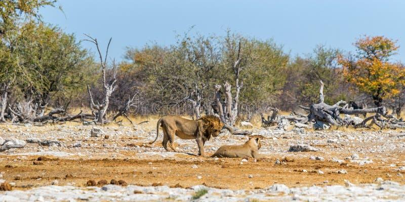Несколько львы в национальном парке Etosha стоковая фотография rf