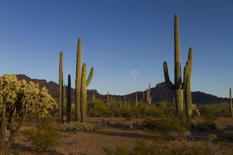 Saguaros в ландшафте стоковые изображения