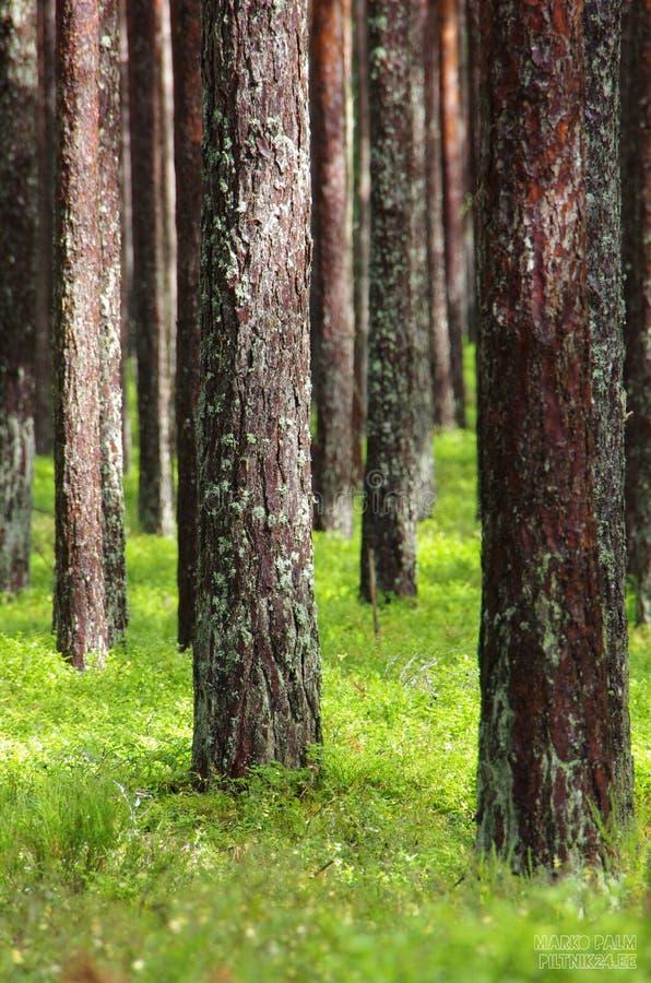 Нетронутый сосновый лес стоковые изображения rf