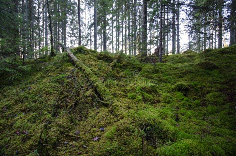Нетронутый старый лес стоковое изображение