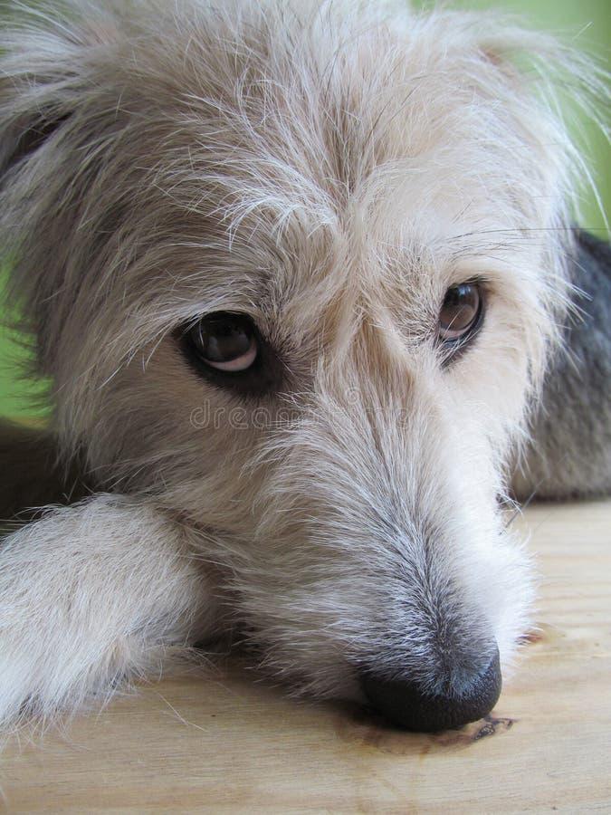 Неухоженная собака 1 стоковые фотографии rf