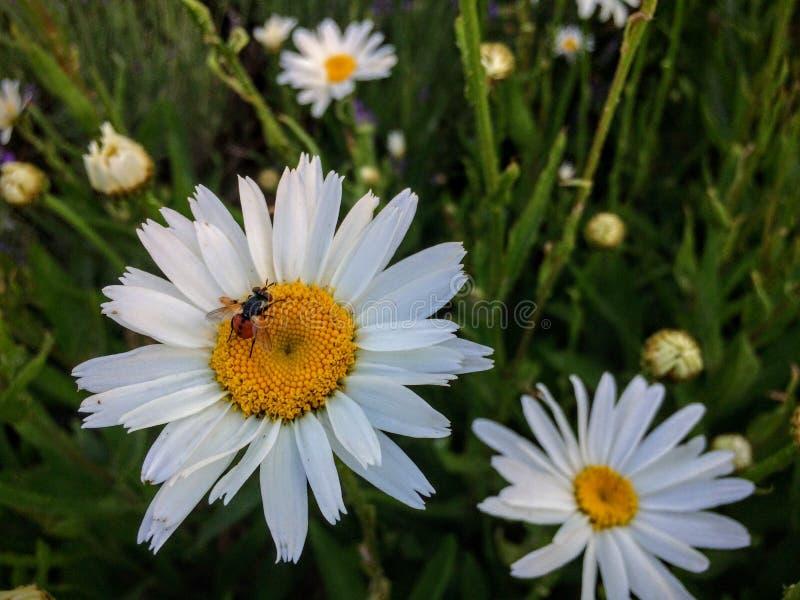 Нечетная смотря муха с красным баттом с черными точками собирая нектар и цветень от белой и желтой маргаритки в саде коттеджа в Ю стоковые фото