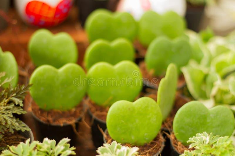 Неясное изображение много зеленый цвет сердца Hoya Kerrii закрытый вверх для предпосылки стоковые изображения