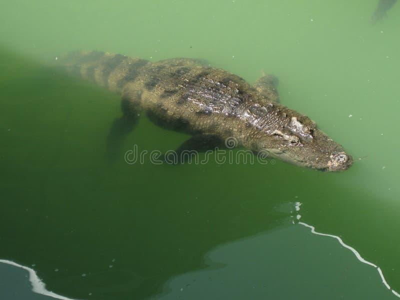 Не славная встреча с крокодилом стоковое фото