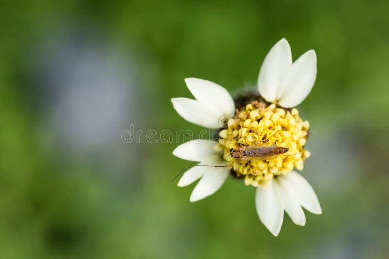 Не-сдерживая midge сидя на мексиканской маргаритке цветет и всасывать цветень стоковая фотография