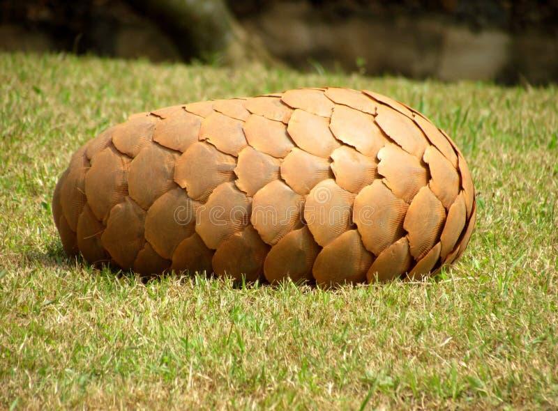 Не pinecone стоковые фотографии rf
