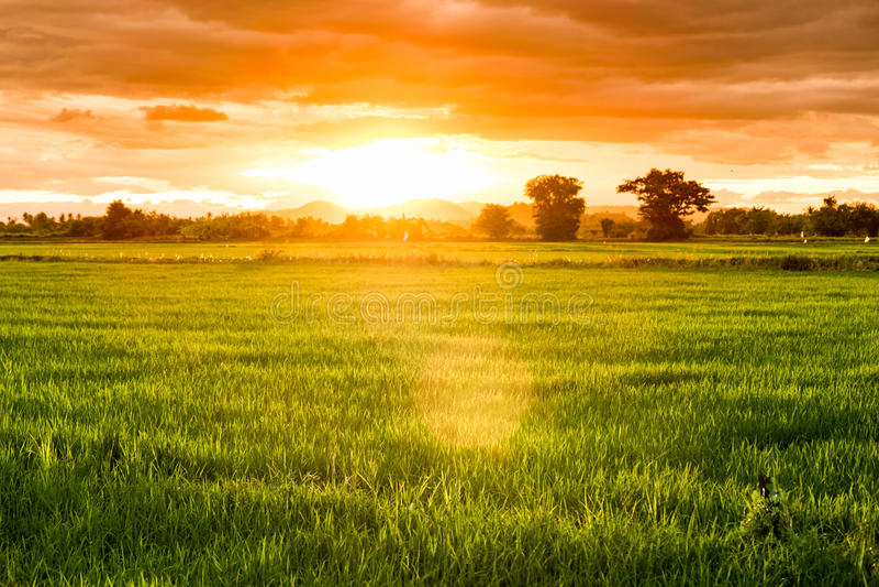 Нива риса на twilight заходе солнца стоковые фото