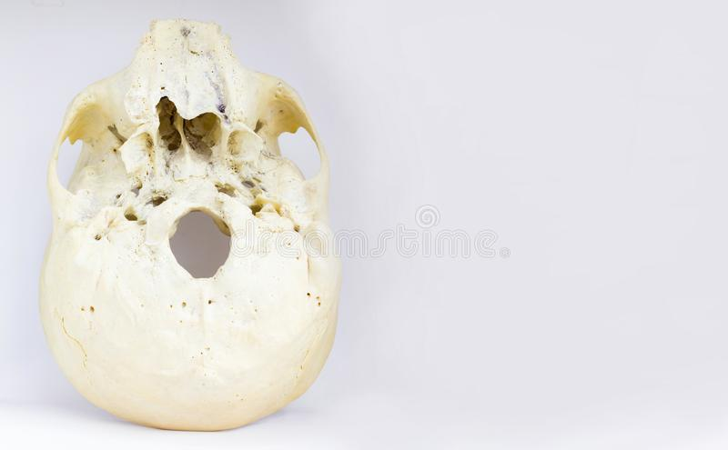 Нижний взгляд основания человеческого черепа показывая maxilla и большую винную бутылку foramen для анатомии в изолированной бело стоковое изображение