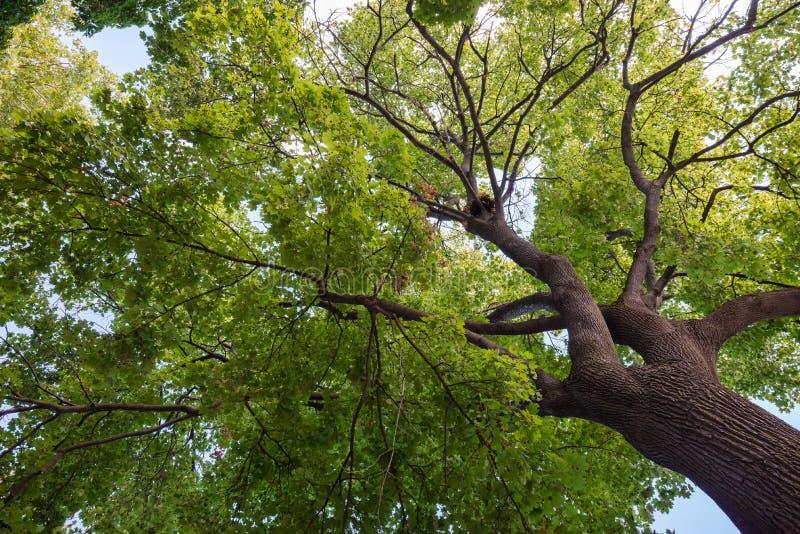 Нижний взгляд кроны огромного зеленого дерева стоковое фото rf