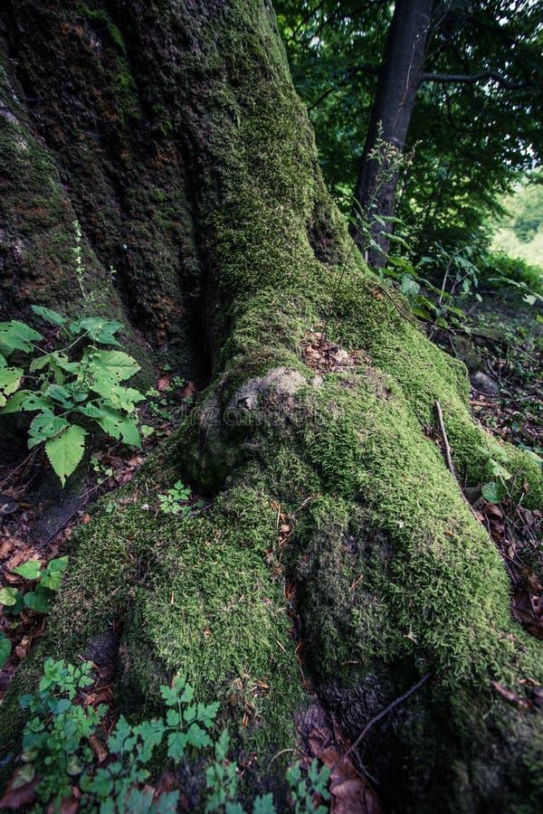 Нижняя часть огромного старого дерева бука перерастанного с мхом стоковые фотографии rf